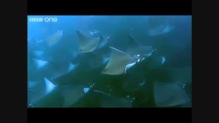 پرواز سفره ماهی ها برفراز دریای کورتز