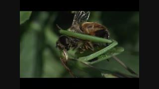 فیلم/ پایان تلخ برای یک زنبورعسل