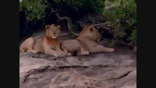 مستند بسیار زیبای حیات وحش افریقا(قسمت4)جنگل حیات وحش شیر و حیوانات مختلف و جدال انها