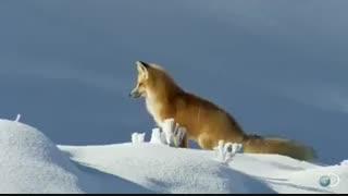 شکار کردن روباه در زیر برف