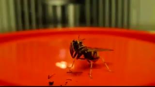 یه نوع حشره عجیب که نصف پایین تنش زنبور و نصب بالا تنش آخوندک