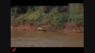 شکار تمساح توسط پلنگ منبع در ویدئو