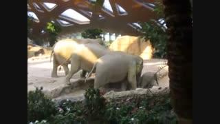 افتادن بچه فیل و کمک کردن پدر و مادر بچه فیل برای بلند کردنش