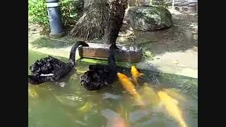 غذا دادن دو تا قو به ماهی ها