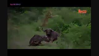 جنگ شیرها فوق العاده دیدنی و قضاوت با بییننده محترم