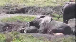 هجوم مرگبار گله برای نجات بچه فیل