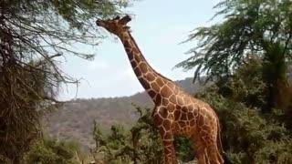 حیات وحش افریقا زرافه