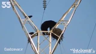 حمله خرس به لانه کلاغ روی دکل برق فشار قوی