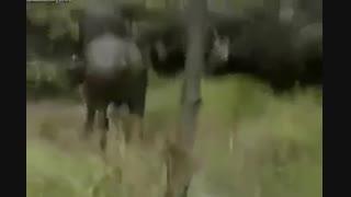 کشته شدن فجیع شیر سلطان جنگل توسط گروه بوفالو