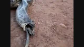درامدن حیوان عجیب از شکم مار