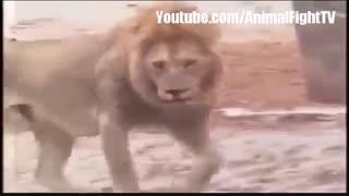 حمله شیرها به فیل