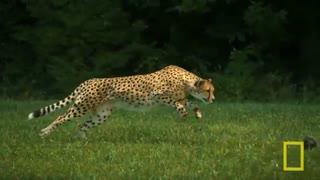 حیات وحش چیتا ها
