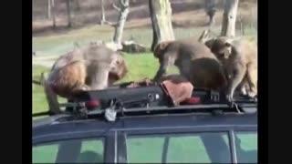 هجوم میمون ها به یک مرسدس بنز