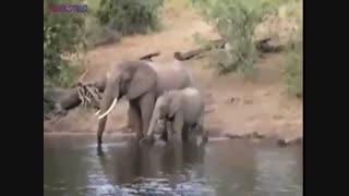 حمله کروکودیل به فیل
