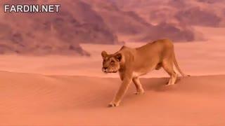 شیرهای صحرای نامیبیا