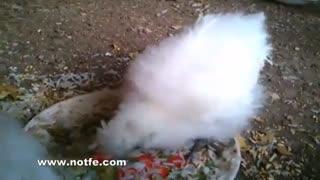 ماشین جوجه کشی|جوجه مرغ های مینیاتوری|دستگاه جوجه کشی خانگی
