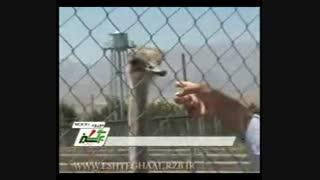 شترمرغ در استان های اصفهان، لرستان و کردستان