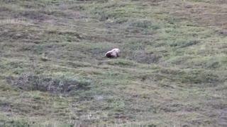 قِل خوردن خرس برای پایین آمدن از تپه!