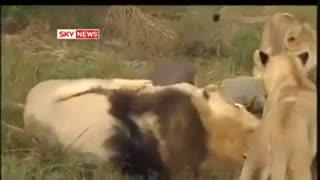 دوستی باورنکردنی شیرها با یک مرد !