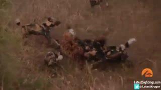 حمله سگ های وحشی به کفتار متجاوز