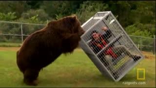 تست میزان قدرت خرس گریزلی