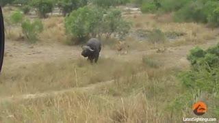 یک بوفالو در برابر دو شیر نر
