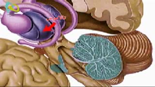 توضیحاتی راجع به مغز انسان