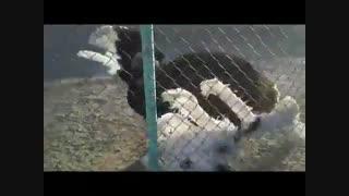 پرورش شترمرغ وفروش  تخم های نطفه دار شتر مرغ