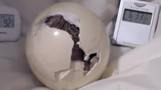 فروش انواع تخم های نطفه دار-خروج شتر مرغ از تخم