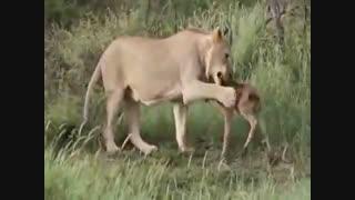 حمایت شیر درنده از بچه گوزن در برابر دیگر شیرها