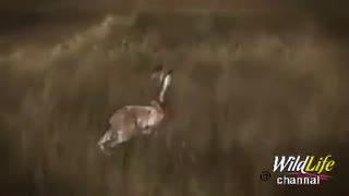 نمایش مرحله به مرحله شکار خرگوش توسط عقاب !