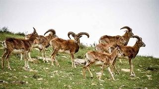 ماجرای تلف شدن دهها قوچ و میش در پارک ملی گلستان