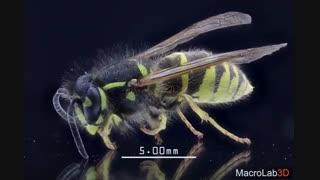 زنبور زیر میکروسکوپ