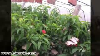 گلخانه شلیل و هلو جهت مشاهده فیلم های بیشتر به سایت زیر مراجعه کنید https://www.binavid.com