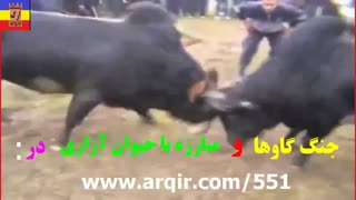 جنگ گاوها