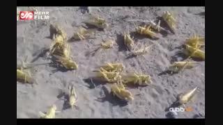 تخمریزی ملخهای صحرایی در ایران