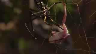 شکار قورباغه توسط عنکبوت