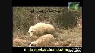 قتل عام گوسفندان توسط گرگ