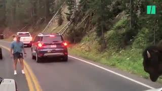 عبور بوفالو از جاده شلوغ